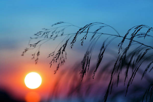 Rising Sun Photograph - Wild Cereal Plants At Dawn by Wladimir Bulgar