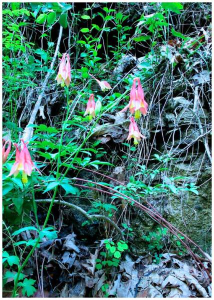Photograph - Wild Columbine Beauty by Kendall Kessler