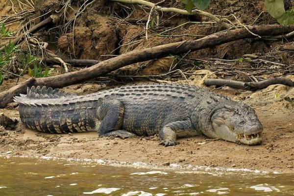 Photograph - Wild Croc by Stuart Litoff