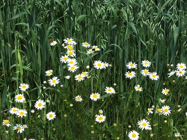 Aroostook County Photograph - Wild Daisies by Gene Cyr