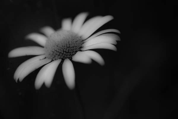 Photograph - Wild Daisy by Windy Corduroy