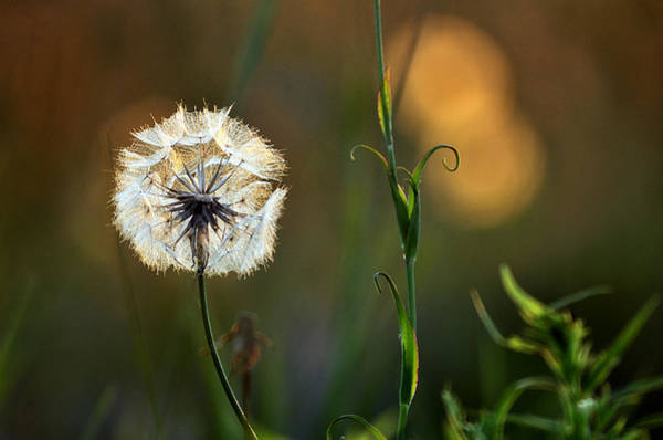 Photograph - Wild Dandelion In A Meadow by Steve Somerville