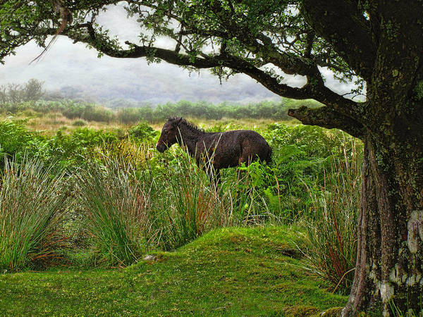 Photograph - Wild Dartmoor Foal by Menega Sabidussi