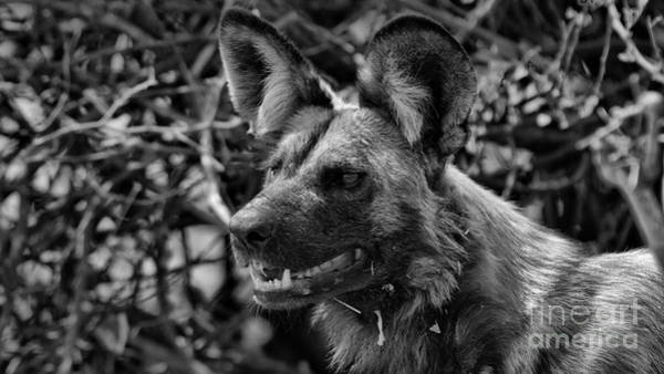 Photograph - Wild Dog by Mareko Marciniak