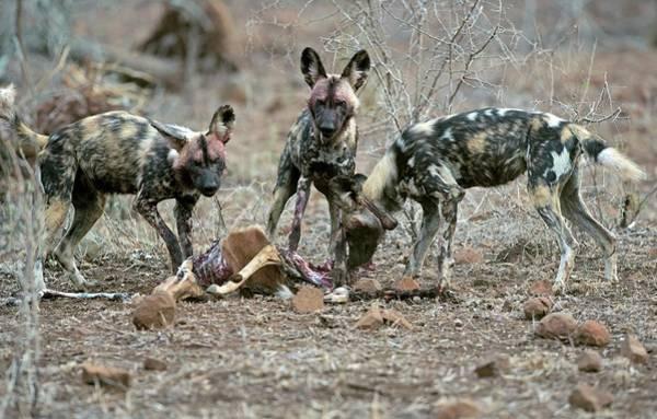 Critically Endangered Wall Art - Photograph - Wild Dogs Feeding On An Impala Carcass by Tony Camacho