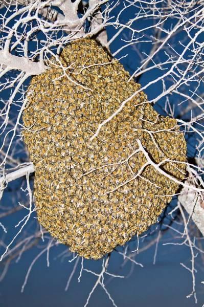Bee Hive Photograph - Wild European Honey Bee Beehive by Photostock-israel