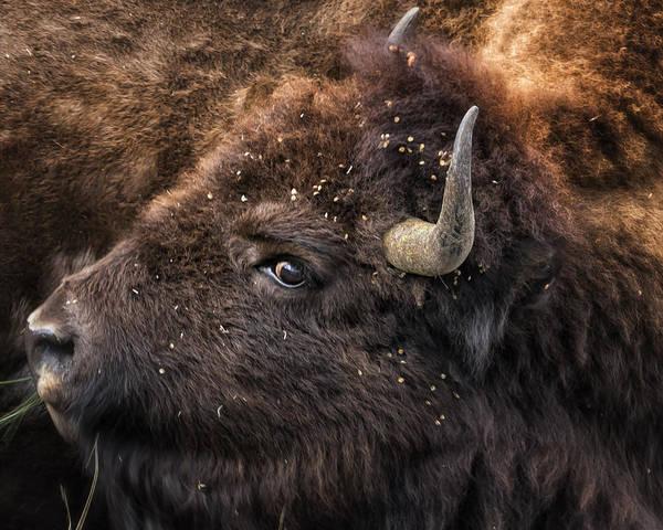 Wild Eye - Bison - Yellowstone Art Print
