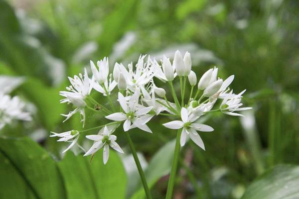 Wall Art - Photograph - Wild Garlic (allium Ursinum) by Chris Dawe/science Photo Library