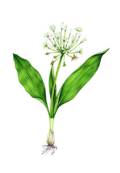 Wall Art - Photograph - Wild Garlic (allium Ursinum) In Flower by Lizzie Harper/science Photo Library