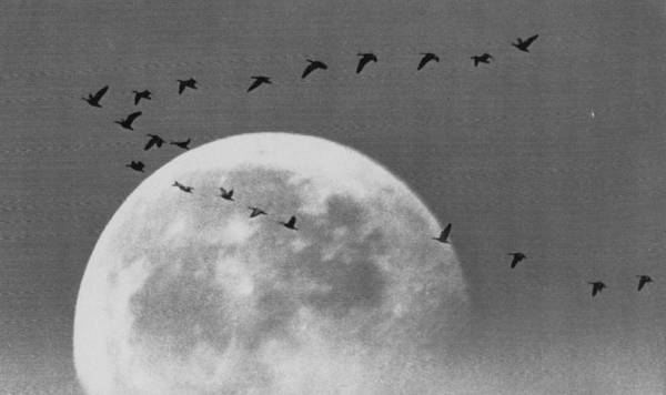 1972 Photograph - Wild Geese by Retro Images Archive