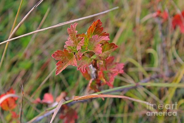 Photograph - Wild Gooseberry Leaves by Ann E Robson