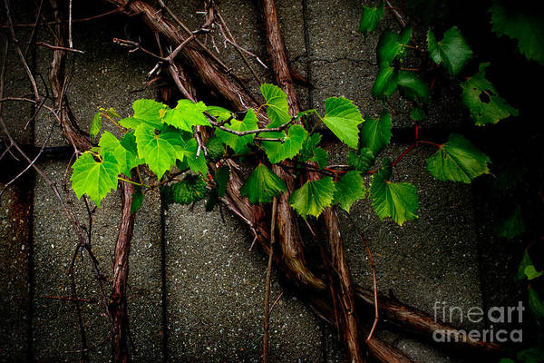 Photograph - Wild Grape Vine by Michael Arend