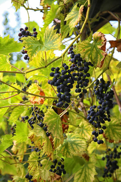 Photograph - Wild Grapes by Michael Hope