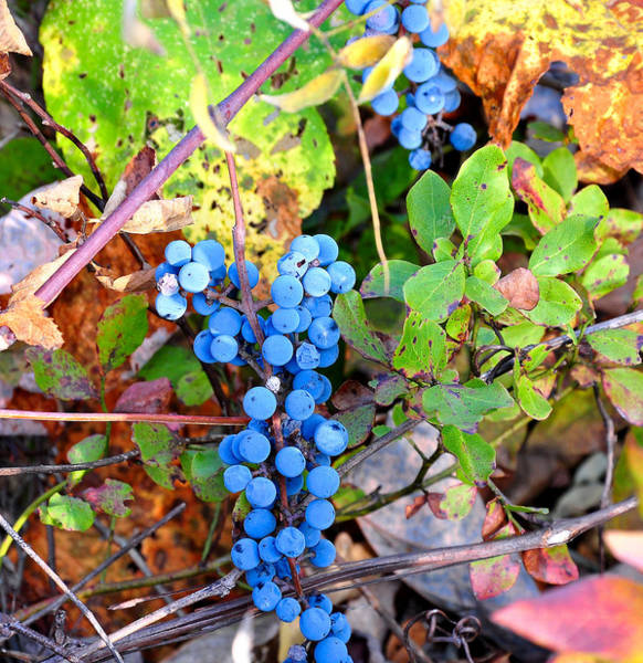 Wild Grape Photograph - Wild Grapes by Todd Hostetter