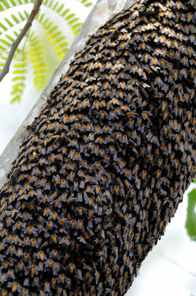 Photograph - Wild Honey Bees by Fletcher and Baylis