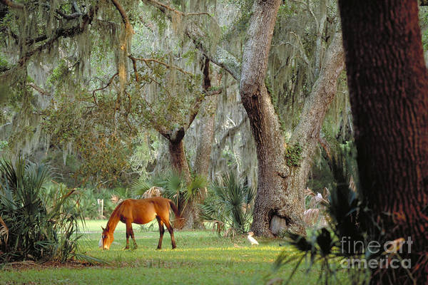Photograph - Wild Horse On Cumberland Island In Georgia by Art Wolfe