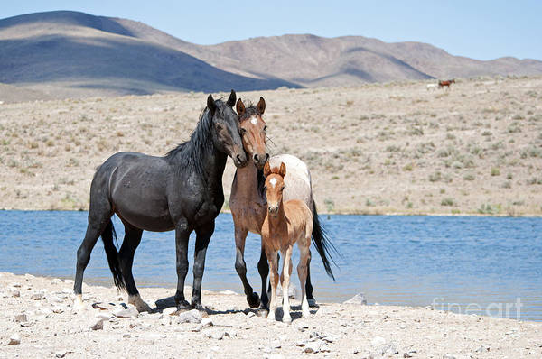 Photograph - Wild Horse Family by Lula Adams