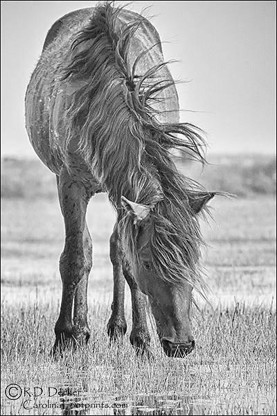Photograph - Wild Horse With Wind Blown Mane by Bob Decker