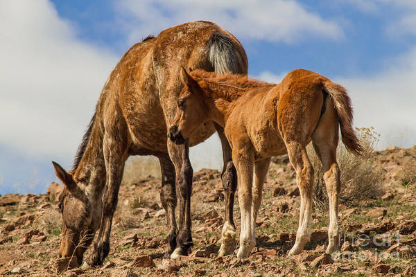 Mare And Foal Photograph - Wild Horses Of Nevada by Mitch Shindelbower