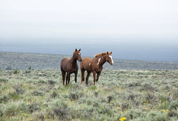 Photograph - Wild Horses - South Steens No. 1 by Belinda Greb