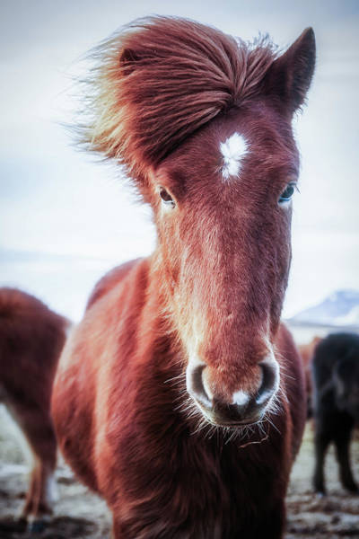 James Brown Photograph - Wild Icelandic Horse Portrait by James Farley