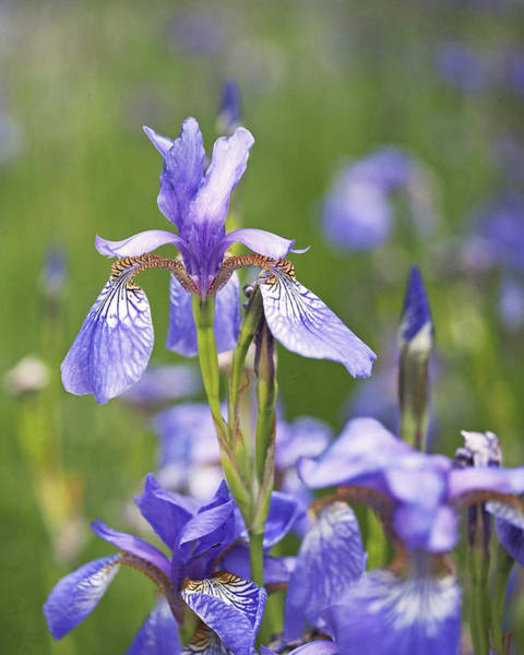 Photograph - Wild Irises by Rona Black