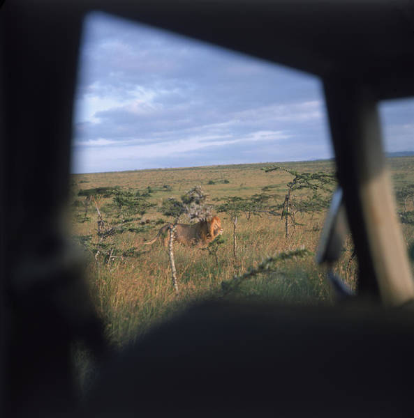 Exotic Car Photograph - Wild Lions In Kenya, Africa by David McLain