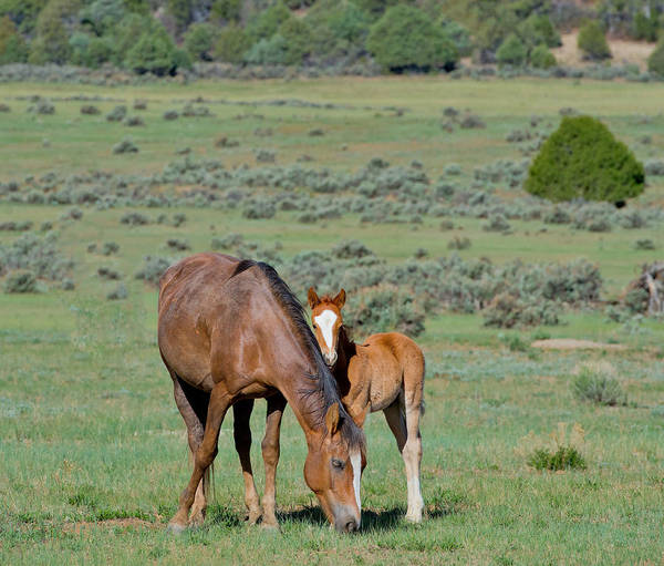 Mare And Foal Photograph - Wild Mare And Foal by Michael Lustbader