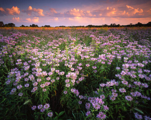 Photograph - Wild Mints Galore by Ray Mathis