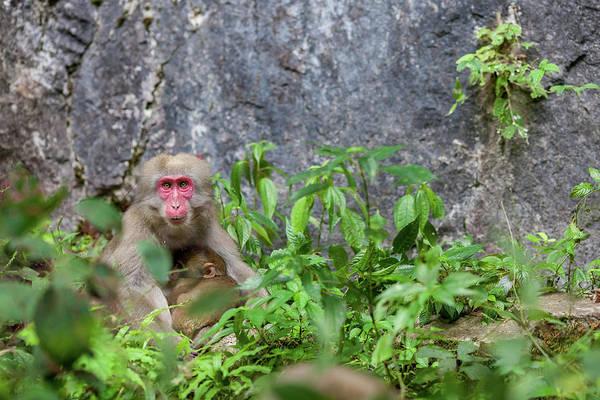 Okayama Prefecture Photograph - Wild Monkey Nursing by Tdubphoto