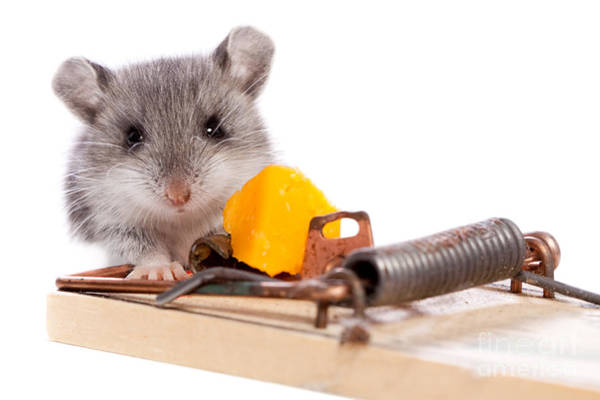 Photograph - Wild Mouse And Mousetrap With Cheese Close Up Isolated by Cindy Singleton
