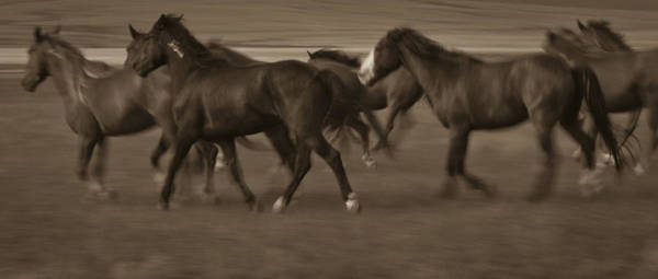 Photograph - Wild Mustangs Of New Mexico 17 by Catherine Sobredo
