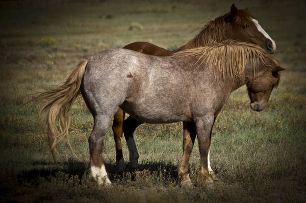 Photograph - Wild Mustangs Of New Mexico 2 by Catherine Sobredo