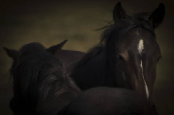 Photograph - Wild Mustangs Of New Mexico 25 by Catherine Sobredo