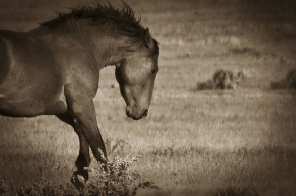 Photograph - Wild Mustangs Of New Mexico 31 by Catherine Sobredo