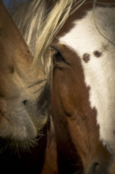 Photograph - Wild Mustangs Of New Mexico 32 by Catherine Sobredo