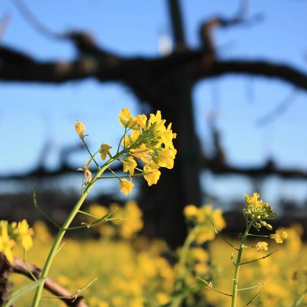 Impressionistic Vineyard Wall Art - Photograph - Wild Mustard 2 by Penelope Moore