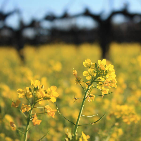Impressionistic Vineyard Wall Art - Photograph - Wild Mustard 3 by Penelope Moore