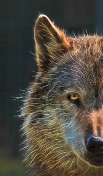 Alpha Wolf Wall Art - Photograph - Wild Night by Gill Billington