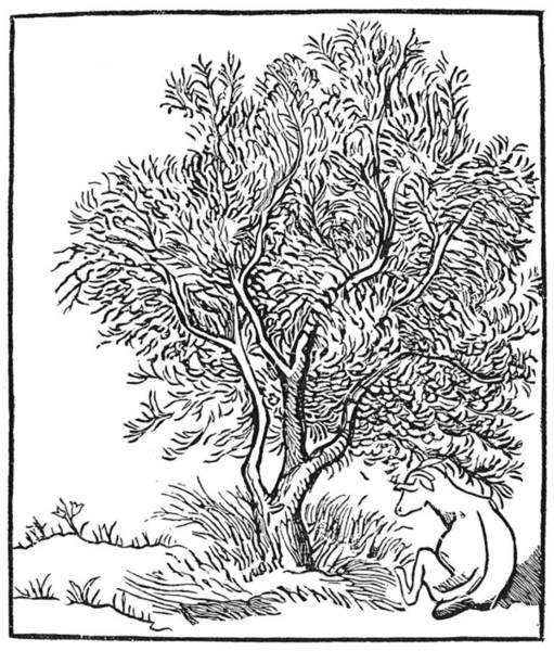 Olive Branch Drawing - Wild Oilve Tree by Granger