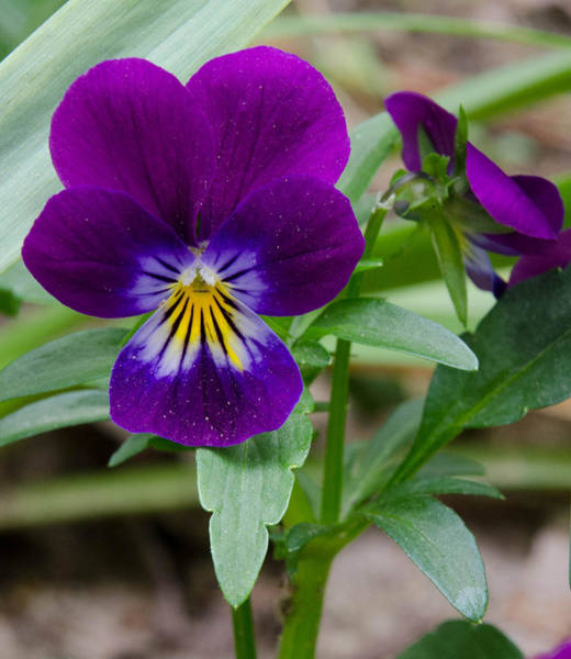 Photograph - Wild Pansy In Purple by Beth Sawickie