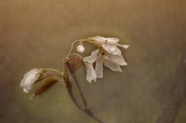 Wall Art - Photograph - Wild Pear Blossom by Susan Capuano