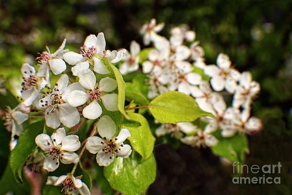 Flowering Trees Digital Art - Wild Plum Blossoms by Ella Kaye Dickey