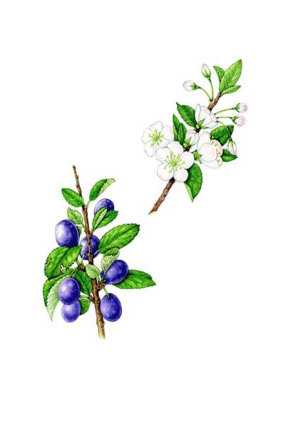 Wall Art - Photograph - Wild Plum (prunus Domestica) Flowers And Fruit by Lizzie Harper/science Photo Library