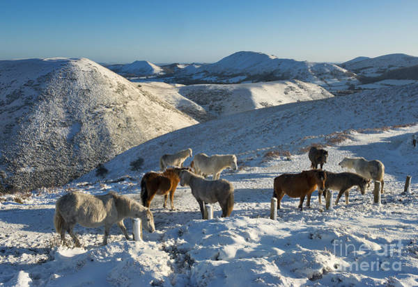 Church Stretton Wall Art - Photograph - Wild Ponies In Winter by John Hayward