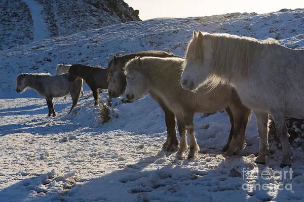 Church Stretton Photograph - Wild Ponies In Winter Snow by John Hayward