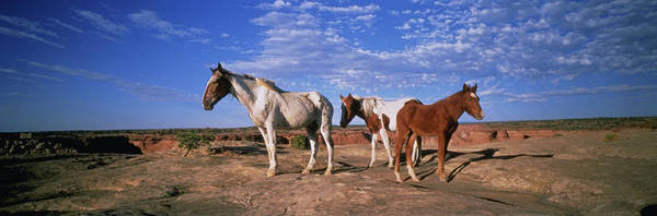 Untamed Wall Art - Photograph - Wild Ponies Nm Usa by Animal Images