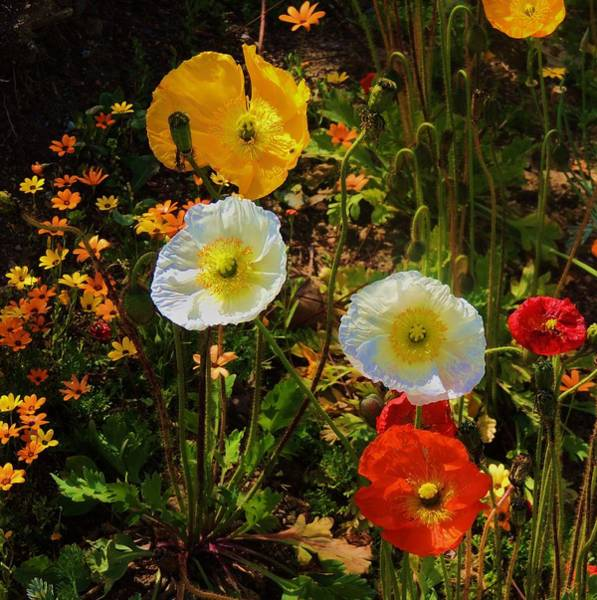 Photograph - Wild Poppies by Helen Carson