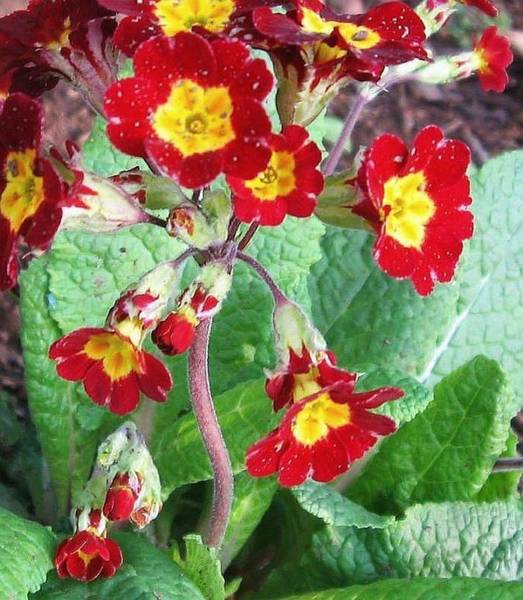 Photograph - Wild Primroses by Deb Martin-Webster