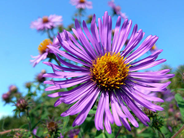 Photograph - Wild Purple Aster by Christina Rollo